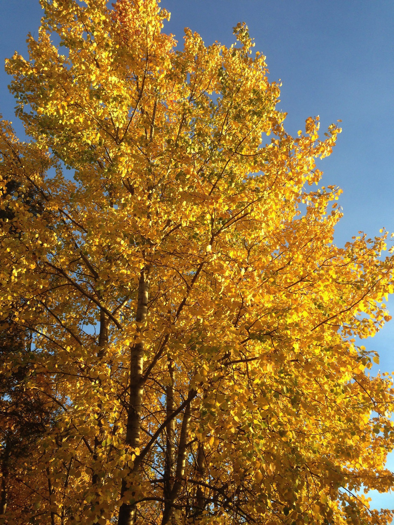 fall foliage, extremely yellow tree and crisp blue sky behind it