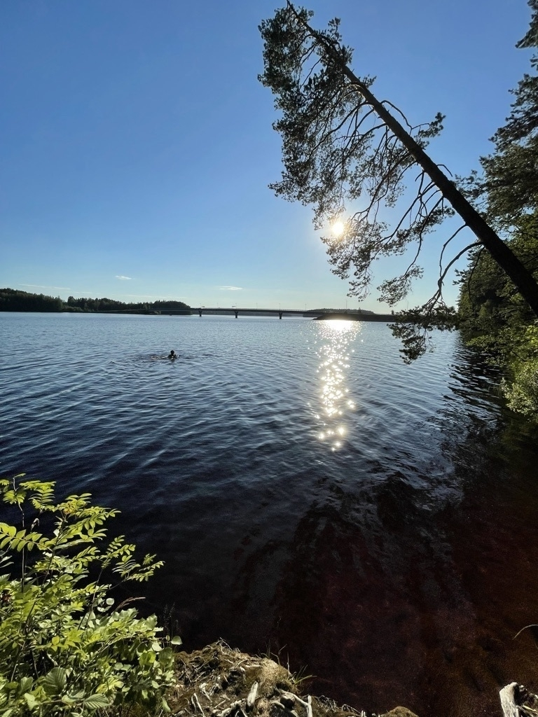 birch tree drooping over a lake, a swimmer in lake, sun setting