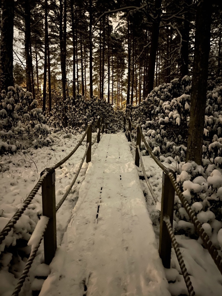 wide path in a forest on duck boards and roped railings, pine trees, rhododendrons, snow and ice