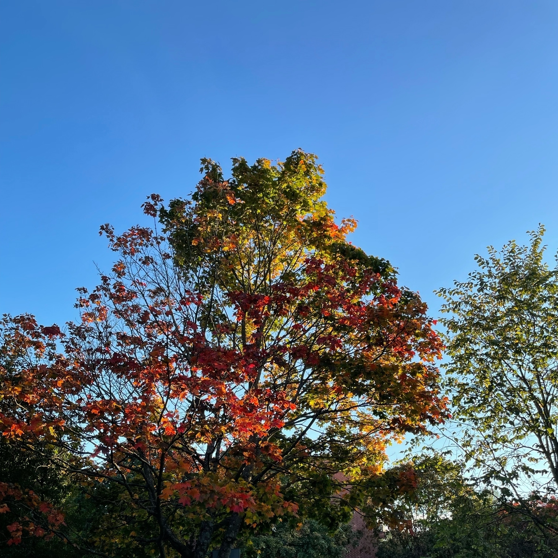 a maple tree with yellow and red leaves against the sun at the back