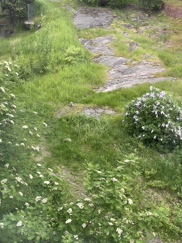 rocks, tall grass and two hares hiding