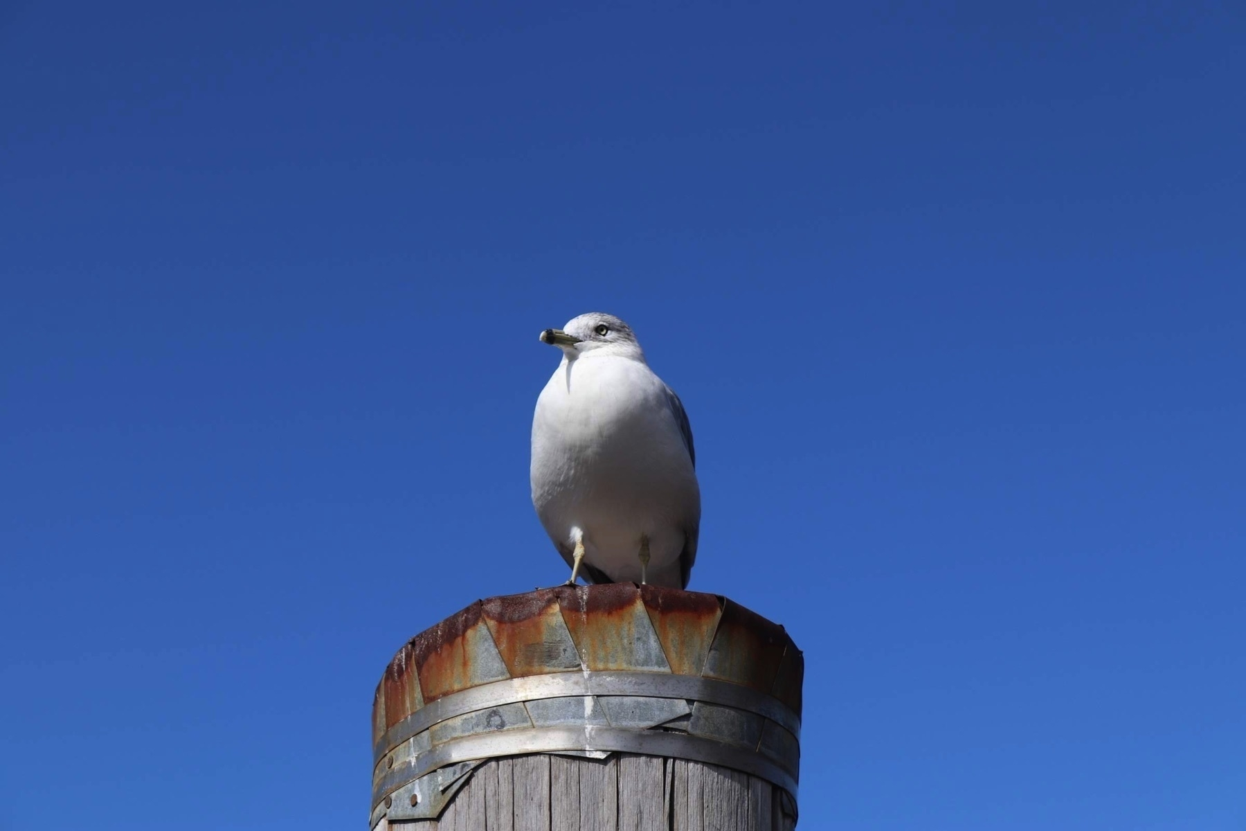 This seagull or Чайка is just sitting on top of a pillar. Pic taken October 2019