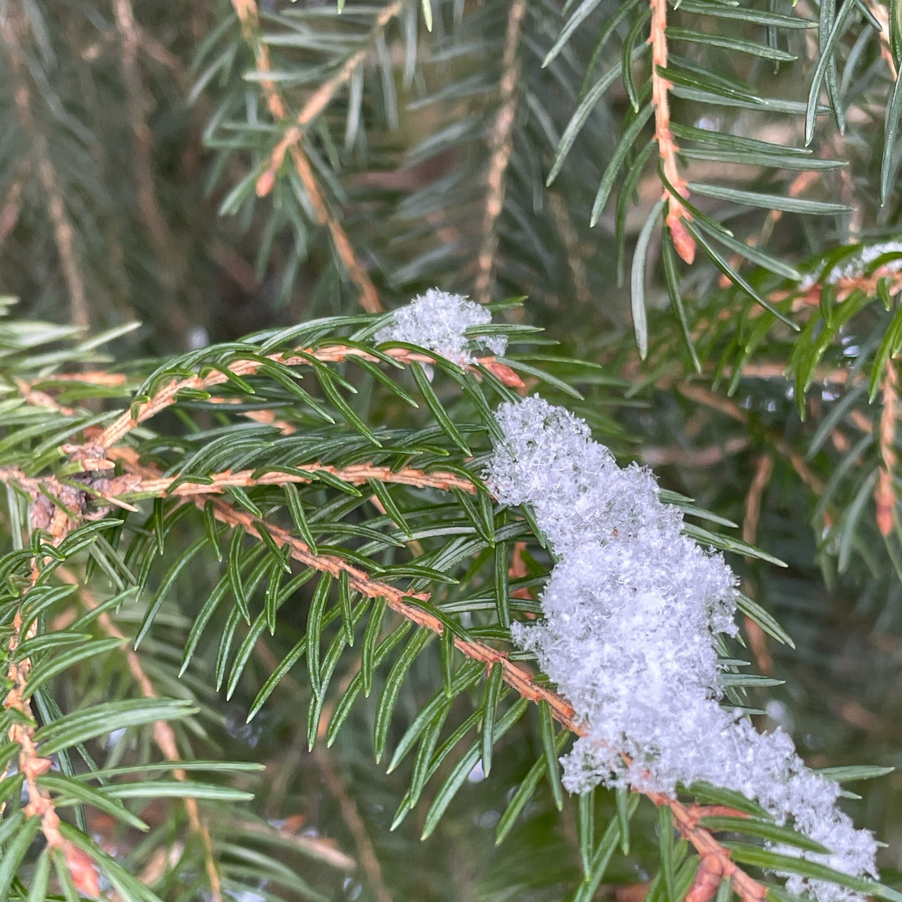 spruce tree needles and some icy snow on top of them